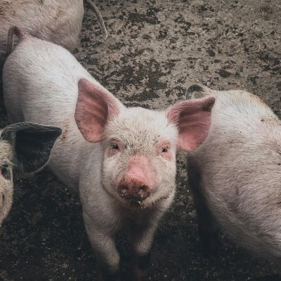 image for Huawei turns to AI pig farming to bring home the bacon